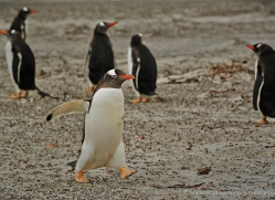 rockhopper-penguin-falkland-islands-4805-copyright-photographers-on-safari-com