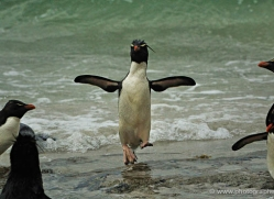 rockhopper-penguin-falkland-islands-4806-copyright-photographers-on-safari-com