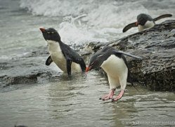 rockhopper-penguin-falkland-islands-4807-copyright-photographers-on-safari-com