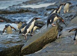rockhopper-penguin-falkland-islands-4810-copyright-photographers-on-safari-com
