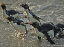 rockhopper-penguin-falkland-islands-4811-copyright-photographers-on-safari-com