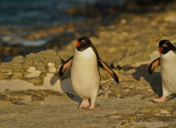 rockhopper-penguin-falkland-islands-4812-copyright-photographers-on-safari-com