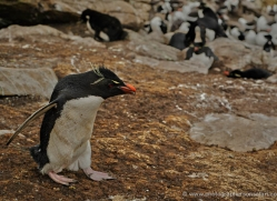 rockhopper-penguin-falkland-islands-4814-copyright-photographers-on-safari-com