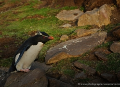rockhopper-penguin-falkland-islands-4815-copyright-photographers-on-safari-com