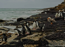 rockhopper-penguin-falkland-islands-4816-copyright-photographers-on-safari-com