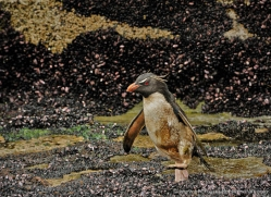 rockhopper-penguin-falkland-islands-4817-copyright-photographers-on-safari-com