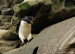 rockhopper-penguin-falkland-islands-4819-copyright-photographers-on-safari-com