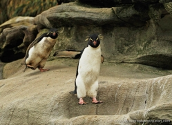 rockhopper-penguin-falkland-islands-4820-copyright-photographers-on-safari-com