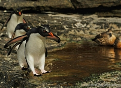 rockhopper-penguin-falkland-islands-4825-copyright-photographers-on-safari-com