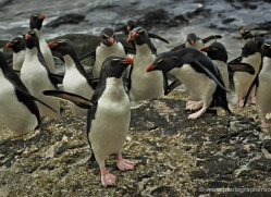 rockhopper-penguin-falkland-islands-4826-copyright-photographers-on-safari-com