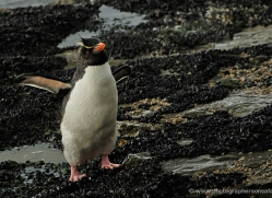rockhopper-penguin-falkland-islands-4918-copyright-photographers-on-safari-com