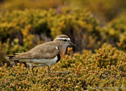 rufous-chested-dotterel-falkland-islands-5008-copyright-photographers-on-safari-com