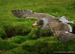 seabird-falkland-islands-5030-copyright-photographers-on-safari-com