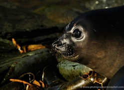 seal-falkland-islands-4992-copyright-photographers-on-safari-com