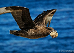 skua-falkland-islands-4971-copyright-photographers-on-safari-com