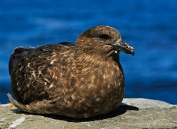 skua-falkland-islands-4972-copyright-photographers-on-safari-com