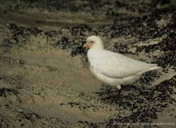 snowy-sheathbill-falkland-islands-5024-copyright-photographers-on-safari-com