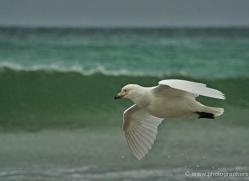 snowy-sheathbill-falkland-islands-5025-copyright-photographers-on-safari-com