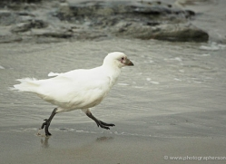 snowy-sheathbill-falkland-islands-5026-copyright-photographers-on-safari-com