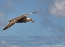 southern-giant-petrel-copyright-photographers-on-safari-com-9267