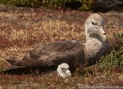 southern-giant-petrel-copyright-photographers-on-safari-com-9271