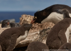 southern-rockhopper-penguin-copyright-photographers-on-safari-com-9273