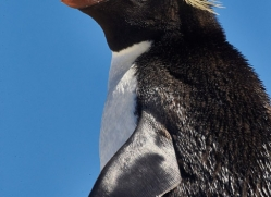 southern-rockhopper-penguin-copyright-photographers-on-safari-com-9274