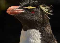 southern-rockhopper-penguin-copyright-photographers-on-safari-com-9280