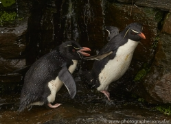 southern-rockhopper-penguin-copyright-photographers-on-safari-com-9281