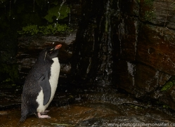 southern-rockhopper-penguin-copyright-photographers-on-safari-com-9282