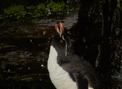 southern-rockhopper-penguin-copyright-photographers-on-safari-com-9283