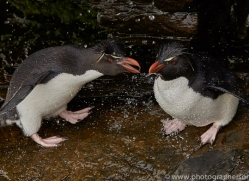 southern-rockhopper-penguin-copyright-photographers-on-safari-com-9287
