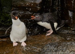 southern-rockhopper-penguin-copyright-photographers-on-safari-com-9291
