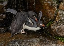 southern-rockhopper-penguin-copyright-photographers-on-safari-com-9292