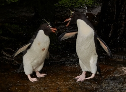 southern-rockhopper-penguin-copyright-photographers-on-safari-com-9299