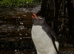 southern-rockhopper-penguin-copyright-photographers-on-safari-com-9301