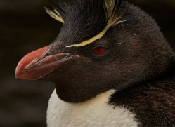 southern-rockhopper-penguin-copyright-photographers-on-safari-com-9302