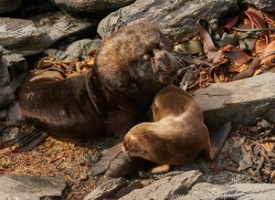 southern-sea-lion-copyright-photographers-on-safari-com-9304