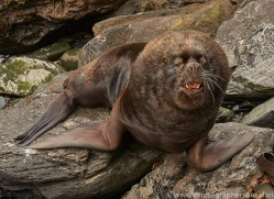 southern-sea-lion-copyright-photographers-on-safari-com-9310