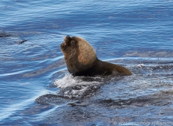 southern-sea-lion-copyright-photographers-on-safari-com-9312
