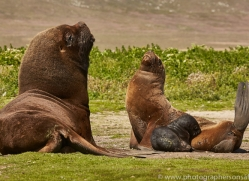 southern-sea-lion-copyright-photographers-on-safari-com-9319