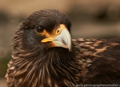 striated-caracara-copyright-photographers-on-safari-com-9321