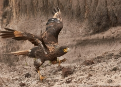striated-caracara-copyright-photographers-on-safari-com-9322
