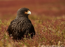 striated-caracara-copyright-photographers-on-safari-com-9329