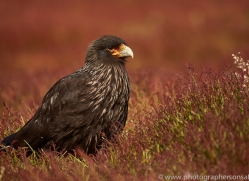 striated-caracara-copyright-photographers-on-safari-com-9330