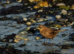 thrush-falkland-islands-5027-copyright-photographers-on-safari-com
