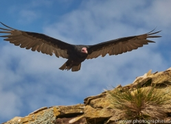 turkey-vulture-copyright-photographers-on-safari-com-9332