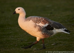 upland-goose-copyright-photographers-on-safari-com-9334