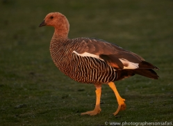 upland-goose-copyright-photographers-on-safari-com-9335