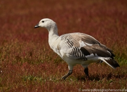 upland-goose-copyright-photographers-on-safari-com-9336